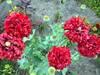 Nasiona Maku ogrodowego pełnego