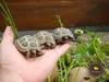 Żółw stepowy z hodowli CB16 wyklute w Polsce