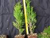 Thuja tuja szmaragd 20-30cm- 3zł,