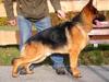 Owczarek niemiecki - pies z rodowodem FCI
