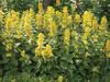 Tojeść kropkowana, Lysimachia punctata, ogród naturalistyczn