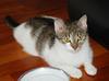 Ofelia - młodziutka śliczna kotka