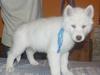 Siberian husky biały szczeniak z niebieskimi oczkami - miniaturka