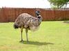 Sprzedam młode strusie Emu - miniaturka