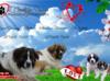 Moskiewski pies stróżujący Nie Bernardyn Kaukaz