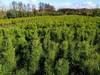 1000 dużych sosen w doniczkach. Sosna 90-100 cm w donicach.