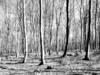 Fototapeta drzewa czarno białe jak brzozy do salonu sypialni