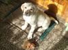 Labradory - miniaturka