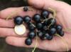 Porzeczka czarna BEN CONNAN, Super odmiana 0.80 zł za sadzonke - miniaturka