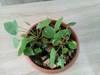 Pilea peperomioides: - Pieniążek