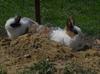 Śliczne króliczki miniaturki