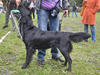Flat Coated Retriever - miniaturka