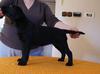 Labradory czarne piękne szczenięta z rodowodem FCI - miniaturka