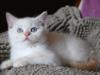 Kocięta Brytyjskie Colourpoint Pręgowane
