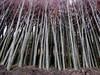 Lipa drobnolistna duża 12-14 cm, duże drzewa, sadzonki lipy.