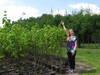 Duże sadzonki lipy 160-180 cm, miododajna lipa, 6-letnia.
