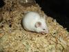 mysz - miniaturka