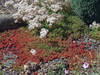 rozchodnik biały koral,carpet sedum album,hurt, skalniak, kg