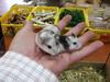 chomik panda - miniaturka