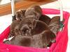 Szczeniaki rasy Labrador z rodowodem ZKwP(Gaik Modrzewiowy) - miniaturka