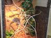 terrarium dla kameleona - miniaturka