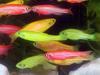 Rybki akwariowe – Danio