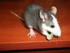 Szczurek - miniaturka