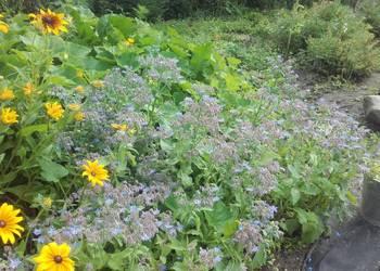 ogórecznik lekarski,miododajna zioło,kwiaty jadalne