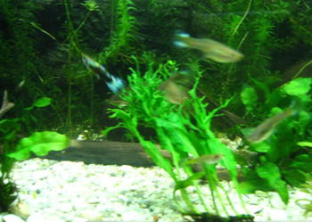 Rybki akwariowe gupiki, krewetki, glonojady, roślinki