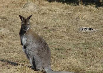 Kangury Walabia Benetta