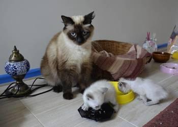 Kocięta syberyjskie Neva Masquerade
