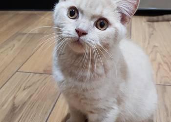 Kociaki Brytyjskie już do odbioru PZF/WCF !!