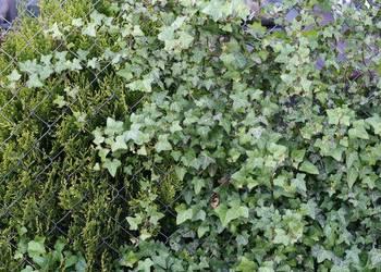 Bluszcz pospolity Hederia helix - pnący i płożący w doniczka