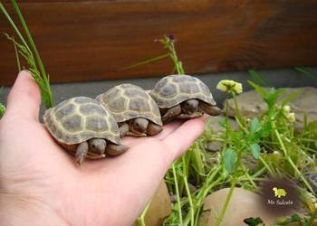Żółw stepowy z hodowli CB17 oraz CB16 wyklute w Polsce