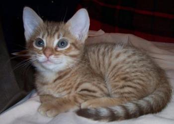 kocięta ocicat - koteczki w kropeczki