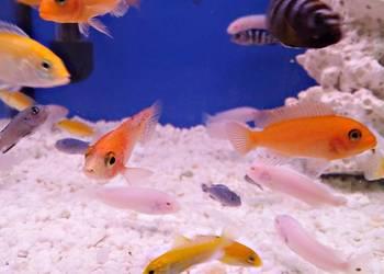 Ryby akwariowe - Pyszczak - Akwarystyczny BORMAG Oświęcim