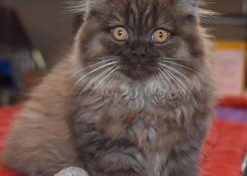 Czekoladowy Kot Brytyjski Długowłosy