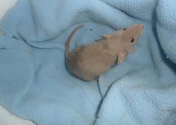szczury, szczurki Dumbo