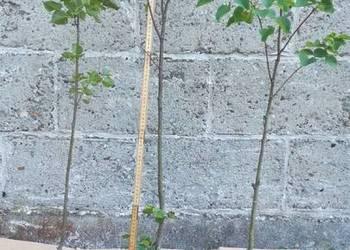 Lipa drobnolistna w doniczce. 100cm.
