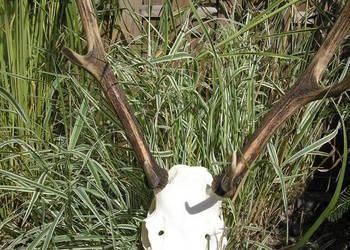 Piękne poroże jelenia z czaszką