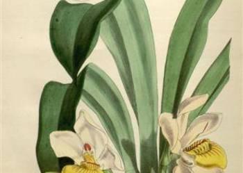 ORCHIDEE -  STORCZYKI   I   reprodukcje  XIX w.   grafik