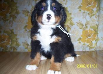 szczeniaki berneński pies pasterski