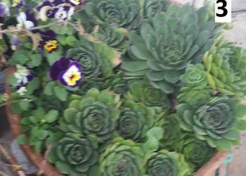 Rojnik murowy - Sempervivum tectorum, bylina gruboszowata
