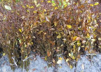 Grab na żywopłot. Duże sadzonki grabu z gruntu. Carpinus.