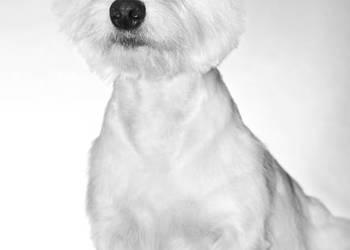 West Highland White Terrier REPRODUKTOR