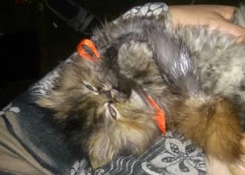 Sprzedam koteczkę perską