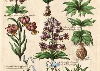Reprodukcje grafik   BOTANIKA, Kwiaty, Zielnik   XVII-XIX w.