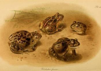 GADY, PŁAZY - Węże, Żaby, Kameleony    reprint XIX w. grafik