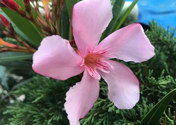 Kwiaty Szczepki oleander