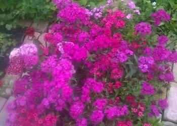 gożdzik brodaty, (Dianthus barbatus) ,ogród wiejski